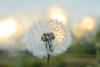 Sunset nature (kiareimages1) Tags: dandelion sunsets spring macroflowers macro macrophoto macrosunset colors images imagery immagini imagespastel kiareimaginations