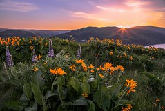 Rowena Crest Wildflower Sunrise (Cole Chase Photography) Tags: sunrise rowenacrest spring flowers pacificnorthwest