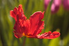 The flying Parrot! (Jay Bees Pics) Tags: tulip springflower parrottulip red garden calver derbyshire england 2018 ngc magicunicornverybest coth coth5 npc
