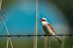 Red-backed shrike - Explored (cradenborg) Tags: c cceradenborg birdwatch birdwatcher grauweklauwier klauwieren laniidae laniuscollurio man myexplored nature openbaar outdoor passeriformes public redbackedshrike websitenieuw wildlife zangvogels ©ceradenborg