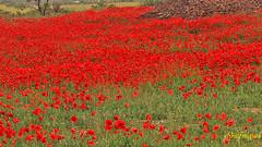 Campo de Amapolas   (9) (eb3alfmiguel) Tags: campos rojo amapolas
