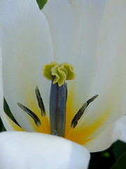 pure white tulip (chris p-w) Tags: white tulip gardens bulb spring flickrsfantasticflowers