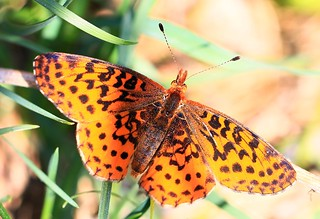 meadow fritillary at Ludwig Preserve IA 854A8312