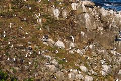 Cycle touring Teuri and Yagishiri Islands (Hokkaido, Japan) (Robert Thomson) Tags: yagishiri teuri teuriisland hokkaido japan hokkaidocycletouring bicycletouring haboro rumoi northcoast birdwatching