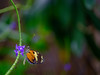 Just hanging out (Christopher W Gilbert) Tags: fujifilm fuji gfx50s velvia macro butterfly close up closeup