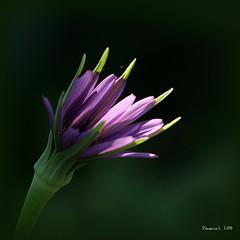P1019849 (daniellelallemand) Tags: salsifis tragopogonporrifolius occitanie france
