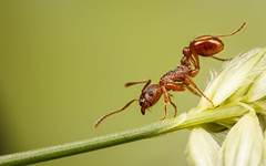 Tightrope Antist (snomanda) Tags: insect invertebrate animal formicidae myrmicinae hymenoptera wildlife nature green red tetramorium caespitum pavement ant