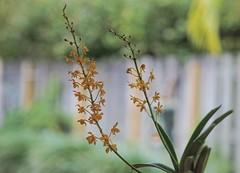 Vanda testacea x Asctm. garayii (ACEZandEIGHTZ) Tags: orchid plant bokeh leaves nikon d3200 orange miniature species spikes flower inbloom vanda testacea ascocentrum asctm cross red lip