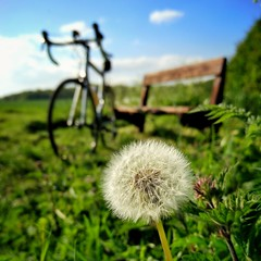 A bike, a bench and a dandelion. HBM (S Cansfield) Tags: bike cycling bench hbm phone oneplus2 dandelion closeup snapseed cyclinglife