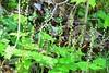 two-leaf miterwort (Mitella diphylla) at Lake Meyer Park IA 854A0972 (lreis_naturalist) Tags: twoleaf miterwort mitella diphylla bishops cap wildflower blooming lake meyer park winneshiek county iowa larry reis