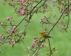Spring fever (Jeannine St-Amour Photography) Tags: bird migration warbler yellowwarbler nature wildlife spring