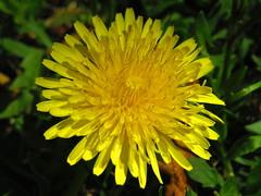 IMG_4177 (PGK88) Tags: flower plant bloom blossom closeup nature outdoors spring springtime beautiful 2018 pgk88 macro dandelion yellow bright sunlight