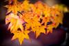 Maple Leaves (eggwah123) Tags: sony sonya7rii a7rii nativelens fe55mmf18 fe55mm felens primelens zeiss zeisssonnar zeiss55mm mirrorless maples maple leaves autumnleaves autumn liquidambar bokeh depthoffield dof outdoor plants