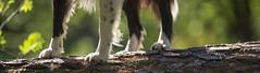 The Four Feet (JJFET) Tags: border collie dog sheepdog herding