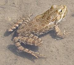 Jardin des Plantes: frog (John Steedman) Tags: jardindesplantes frog frosch grenouille フランス france frankreich frankrijk francia parigi parijs 法国 パリ 巴黎
