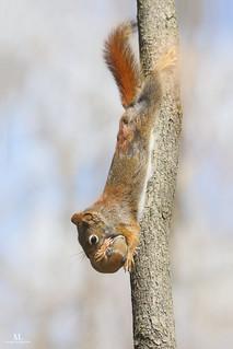 American red squirrel - Écureuil roux - Tamiasciurus hudsonicus