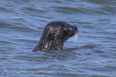 Seals @ Lendalfoot (Dougie Edmond) Tags: lendalfoot scotland unitedkingdom gb nature wildlife seals seal beach waves sand