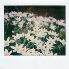 Flower Forest (m.ashe7) Tags: polaroid instantfilm maryland outdoors polaroidweek springtime spring spectra closeup f112 polaroidspectra flowers flower plants
