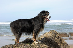 Dash Conquers the Pacific (JB by the Sea) Tags: sanfrancisco california april2018 fortfunston dog australianshepherd aussieshepherd aussie dash pacificocean pacific ocean