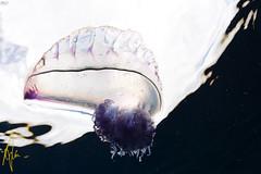 Jellyfish (Izzysan) Tags: nikon nikondslr nikonslrgroup nikondigital dominica dominicaphoto wildlife cnidarian physalia portuguesemanofwar