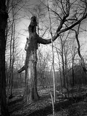 Old Tree 1 (Jeffery Womack) Tags: 2018earylyspring mayburystatepark michigan trees blackandwhite dramaticmonochrome hikingtrails monochrome nature novi oldtree samsunggalaxy8plus smartphonephotography water