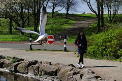 Edinburgh Ponds April 2018 (153 of 228) (Philip Gillespie) Tags: lochend park pond st margaret loch water wet birds swans seagulls pigeons drips drops sky cloud sun sunshine trees bushes leaves branches kite mono monochrome black white colour color green blue yellow red orange flowers door waves ripples reflections grass hill arthur seat low level close up landscape waterscape eyes beaks feathers people man girl ruin chapel church silhouette contra lumiere bench clouds flood rocks roof wire barbed goose splash reeds nature natural forest wood