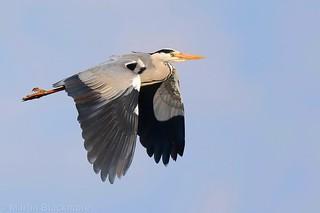 Grey Heron in flight 103950