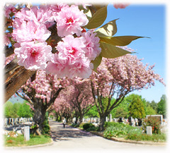 twpecscherry1 (laluzdivinadetusojos) Tags: cherry japanese tree blooming blossom spring hungary