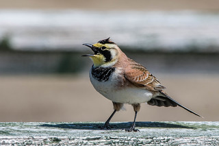 Horned Lark , Cape St. Mary's
