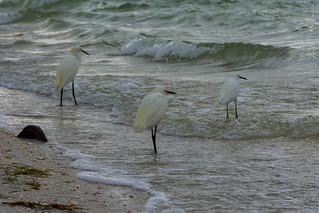 Old Egrets and the Sea
