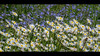 Champ fleuri (Roba57) Tags: villerslèsnancy nancy meurthe moselle fleur champ paquerette