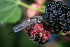 Happy Fly Day Friday! (jciv) Tags: fly macro file:name=dsc02747 insect robberfly berries fruit mulberries