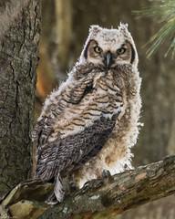 Young owl (Fred Roe) Tags: nikond810 nikkorafs80400mmf4556ged nikonafsteleconvertertc14eii nature wildlife birds birding birdwatching birdwatcher raptor owl greathornedowl bubovirginianus