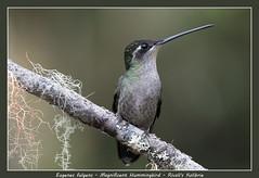 Magnificent hummingbird (Jan H. Boer, Nature photographer) Tags: eugenesfulgens magnificenthummingbird rivoliskolibrie birds hummingbirds nature wildlife costarica sangerardodedota nikon d500 afsnikkor200500f56eedvr jan´sphotostream2018