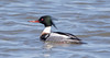 _U7A1655 (rpealit) Tags: scenery wildlife nature edwin b forsythe national refuge drake redbreasted merganser bird duck