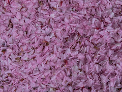 Natures Confetti (Craig Hannah) Tags: cherryblossom flower blossom cherry tree confetti pink petals spring colours may 2018 craighannah greenfield saddleworth pennine nature westriding yorkshire oldham england uk