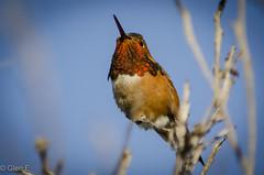 Allens Hummingbird (nebulous 1) Tags: allenshummingbird ca bird fauna nikon nebulous1 glene