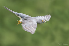 Cuckoo In Flight (DanRansley) Tags: cuculuscanorus danransleyphotography danransleynet animal bird birding broodparasite conservation cuckoo feathers migration nature ornithology parasite seasons spring summer wildlife springwtch wmbd worldmigratorybirdday world migratory day