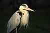Grey heron (Teruhide Tomori) Tags: greyheron animal nature bird kyoto japan wild アオサギ 自然 京都 日本 野生 野鳥 japon light water toji 東寺