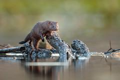 American Mink (wn_j) Tags: nature naturephotography nationalwildliferefuge wildlife wildanimals wildlifephotography mink americanmink canon canon500mm canon1dxii heinzwildlife heinz heinznwr johnheinz johnheinznwr