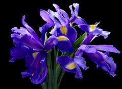 Purple Petals (Pufalump) Tags: iris macro purple yellow flower petals blackbackground stem green bright