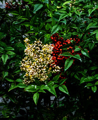 Flowers and Berries (Steve Taylor (Photography)) Tags: berry green yellow white red newzealand nz southisland canterbury christchurch city plant bush flower leaves foliage