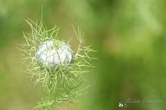 Bloemknop (Nicolette Vermeulen) Tags: bloemknop bloem flower groen green natuur nature naturephotography natuurfotografie voorjaar lente bokeh macro macrophoto macrofoto