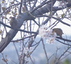 Birdwatching 20160217 (caligula1995) Tags: 2016 housefinch plumtree