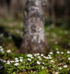 Uppsala, May 5, 2018 (Ulf Bodin) Tags: vitsippa uppsala spring sverige woodanemone anemonenemorosa canonef85mmf12liiusm sweden outdoor sävja lilladjurgården canoneos5dsr vår uppsalalän se