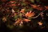Breenhold Brown (Eddy Summers) Tags: breenhold breenholdgardens autumn bluemountains pentax pentaxk1 k1captures vibrant rust rusty colourful australia nsw takumar takumar135mm takumar135mmbayonet