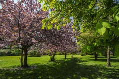 On The Other Side (Karl Ruston) Tags: tree cherry blossom outdoor green grass landscape yorkshire park gardeb garden