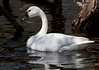 Tundra Swan (sarasonntag) Tags: tundra swan bay beach green wisconsin spring may 2018 white bird water migration artic winters united states