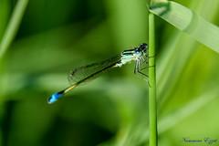 Agrion élégant mâle (Ischnura elegans)   (2) (Ezzo33) Tags: france gironde nouvelleaquitaine bordeaux ezzo33 nammour ezzat sony rx10m3 parc jardin insecte insectes specanimal libellule agrion élégant