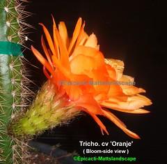 Trichocereus hybrid 'Oranje' ( Bloom pic #4 side view ) (mattslandscape) Tags: orange oranje trichocereus mugge klaus echinopsis kakteen cactus cactusblooms cacti cactusflowers cactiblooms flickrechinopsisbloomgroup bloom blooms bloomingcactus bloompictures flower floweringcactus flowers